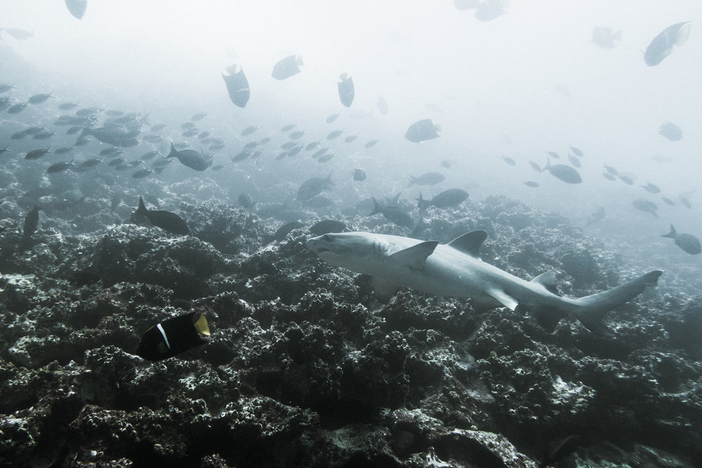 Galapagos shark (Carcharhinus galapagensis) - Galapagos shark (Carcharhinus galapagensis) in the waters below Gordon Rocks, Santa Cruz Island. These sharks grow up to around 10 feet (3m) in length, and are common near tropical oceanic islands. They are described as