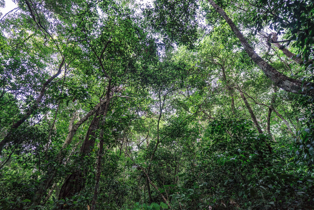 "Tree canopy in the dense ""selva"" (jungle)"