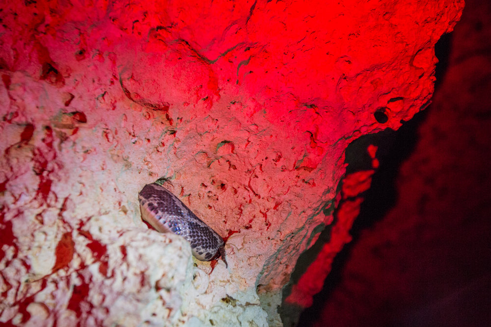 - Just a hint of what was hiding in the ceiling. These blind boas can reach up to four feet in length.