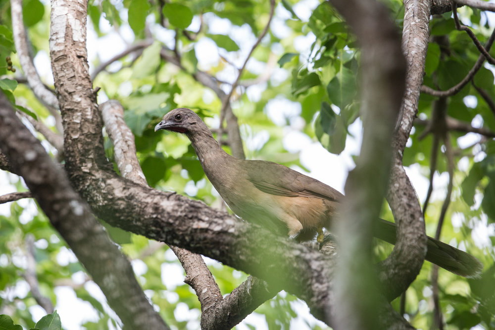 plain chacalaca (Ortalis vetula) - A curious plain chacalaca looking at us from above. This bird species can be seen from Texas to Costa Rica. They are loud and don't shy away from humans.