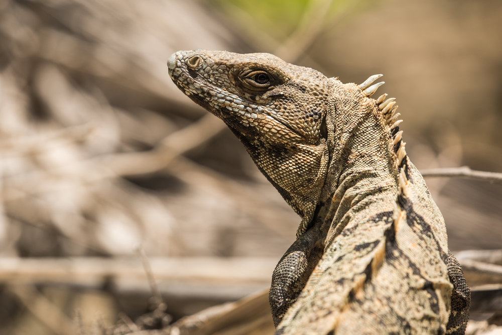 Black iguanas (Ctenosaura similis) - One of the many black iguanas spotted in the Sian Ka'an Biosphere Reserve. Although they appear lazy, they were recorded as the fastest-running species of lizard.