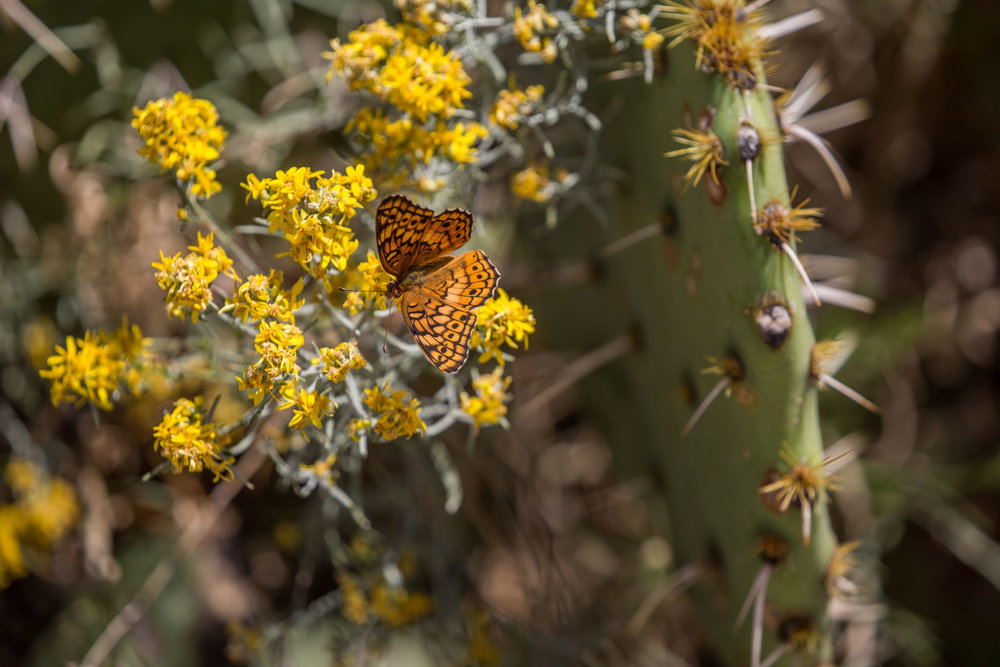 - Looks to be a Mormon Fritillary, Speyeria mormonia (though its range does not seem to extend to southern New Mexico - please comment below if you can confirm the species), in Organ Mountains - Desert Peaks National Monument.