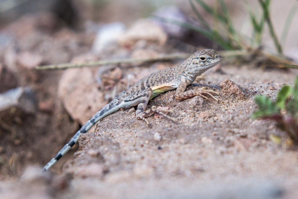 Southwestern Earless Lizard (Cophosaurus texanus scitulus) - Southwestern Earless Lizard at the Organ Mountains - Desert Peaks National Monument.