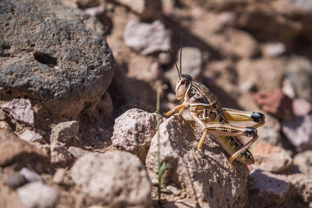 plains lubber grasshopper (Brachystola magna) - A plains lubber grasshopper also known as the