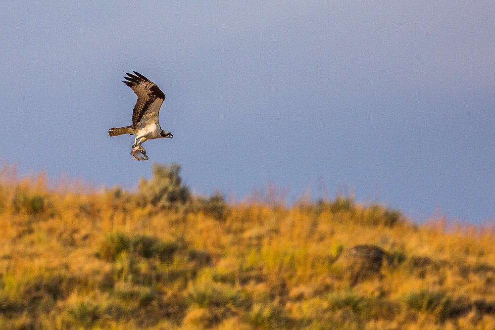osprey (Pandion haliaetus) - An osprey flying overhead with a freshly-caught fish, in the Upper Missouri River Breaks National Monument, just before sunset.