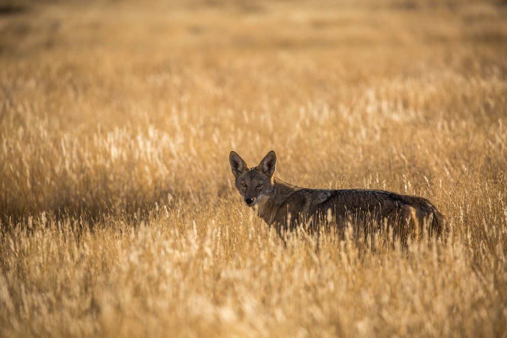 California Valley Coyote (Canis latrans ssp. ochropus) - A coyote briefly views us from the grass. The range of the coyote extends throughout the North American continent, and as of 2005, 19 subspecies of coyotes have been recognized.