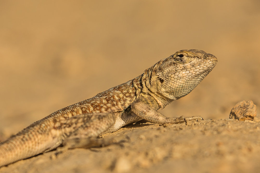 common side-blotched lizard (Uta stansburiana) - These lizards have a very interesting mating behavior, where the males come in three morphs: orange-throated (