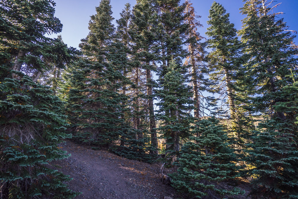 - Coniferous forests take over the landscape when approaching the peaks of Snow Mountain