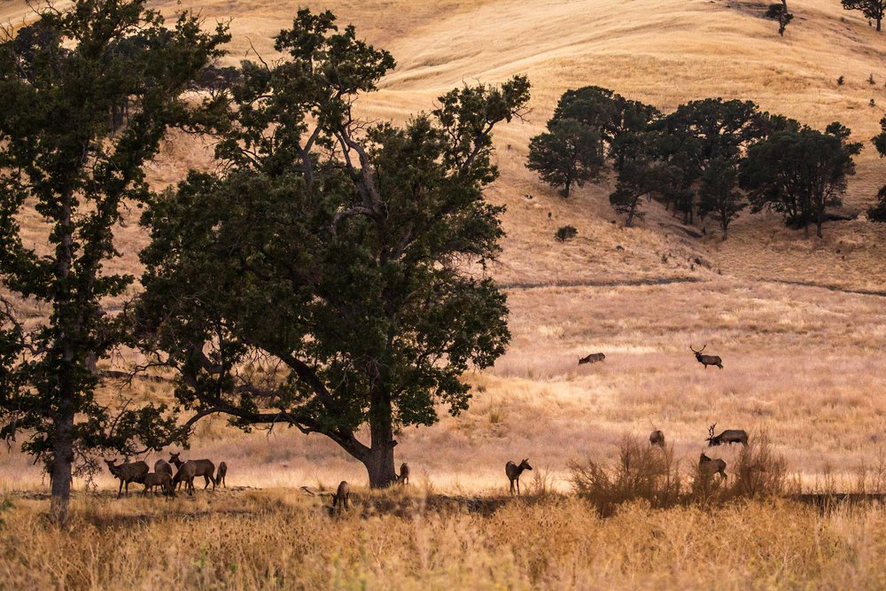 A herd of tule elk (Cervus canadensis nannodes) - Tule elk, a subspecies of elk endemic to California, in the oak savanna ecosystem located in the central section of the national monument. This is also one of the areas where historical sites of Native peoples who inhabited these lands abound.