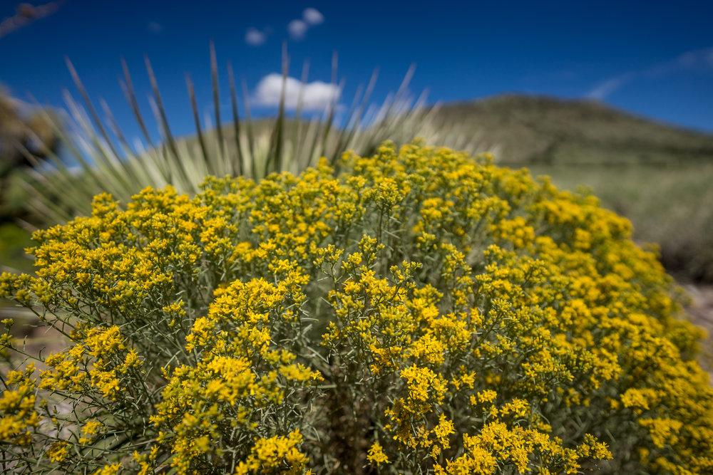 Flowering rabbitbrush
