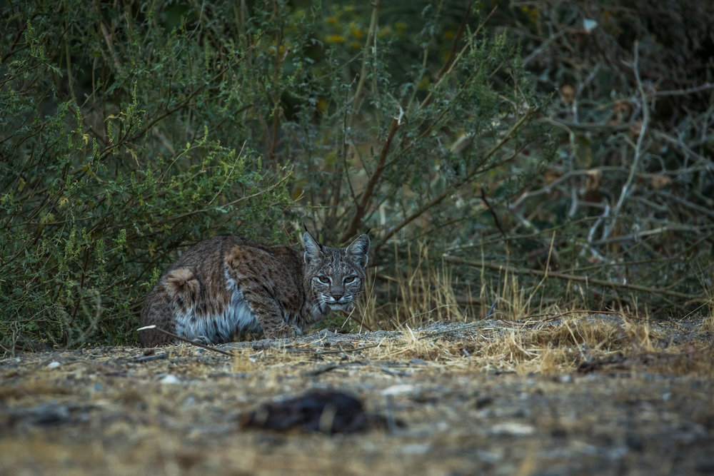 Bobcat (Lynx rufus) - A female bobcat spotted at sunset in the Whitewater Preserve, gateway to the Sand to Snow National Monument