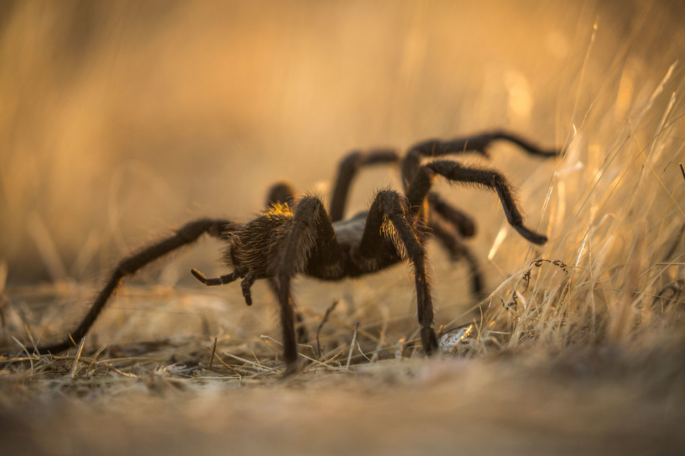California Ebony Tarantula (Aphonopelma eutylenum) - A California ebony tarantula, slowly feeling its way through the grasses. We saw several of these beautiful spiders, which, despite their appearance, are quite docile and harmless.