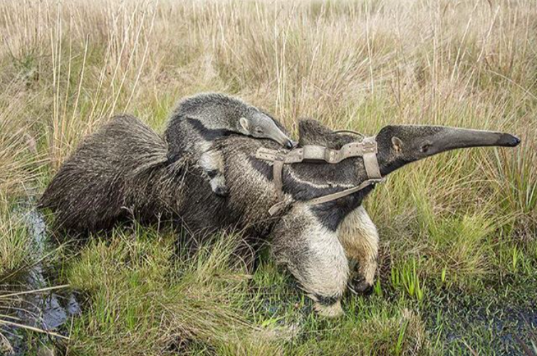 Giant anteater with baby. Photo by Rafael Abuín.