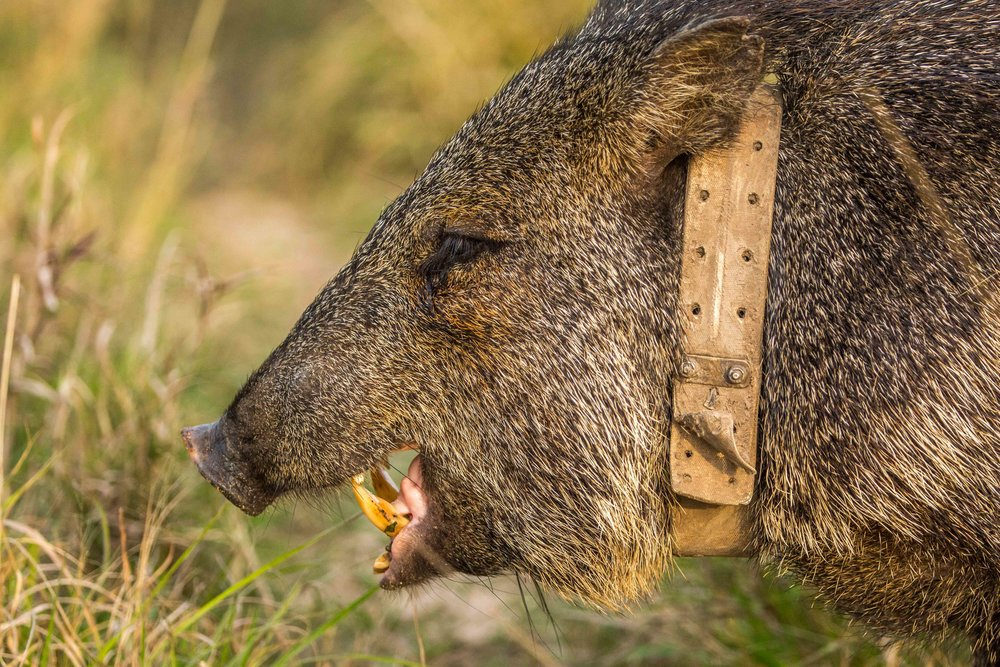 Collared peccaries were successfully reintroduced in 2016.