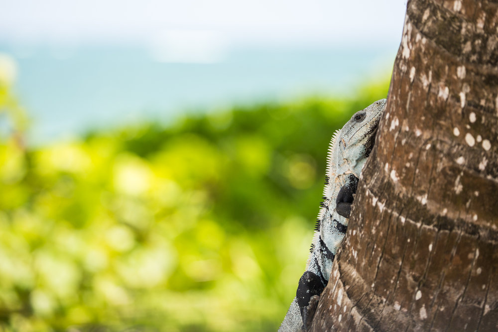Spiny-tailed iguana in the Sian Ka'an Biosphere Reserve