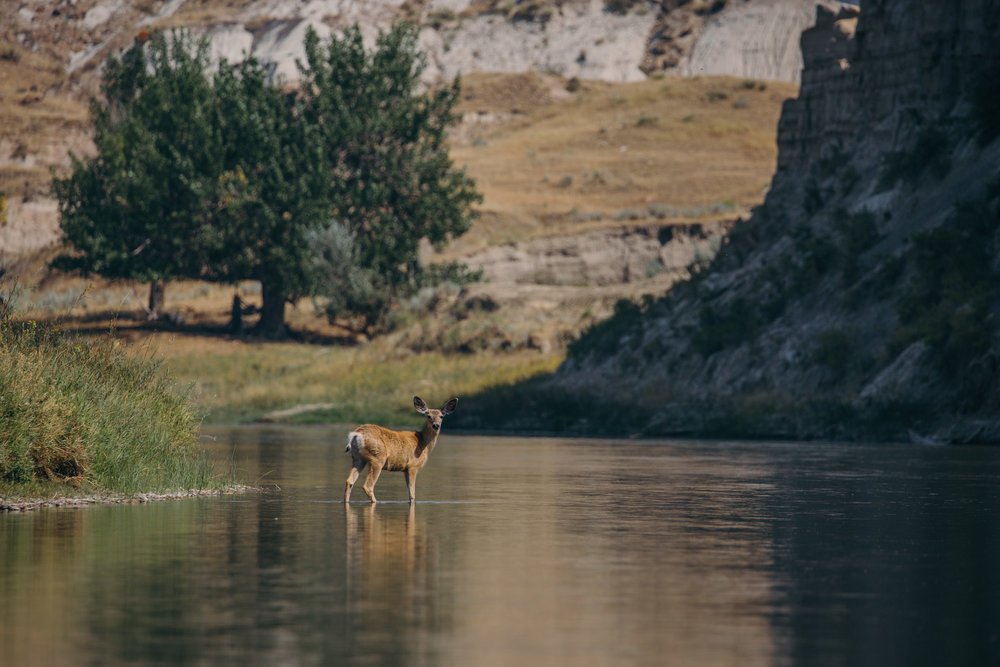 Mule deer  (Odocoileus hemionus)  wading through the water in Upper Missouri River Breaks National Monument, Montana