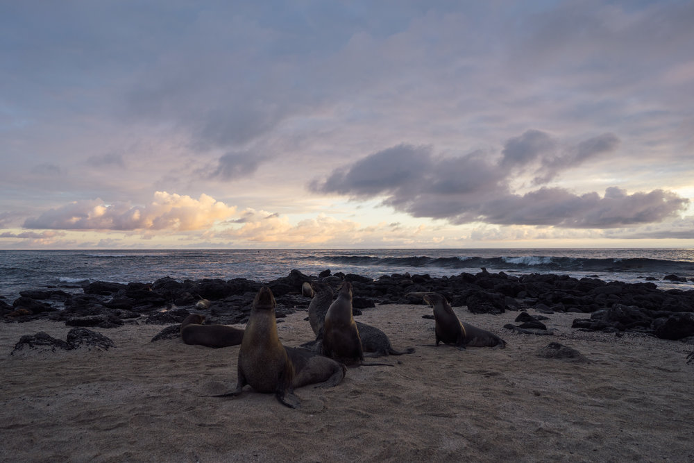Galápagos sea lions after sunset at La Lobería beach on San Cristóbal