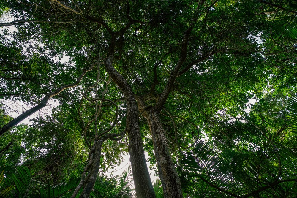 - Forest canopy on Isla Chapera