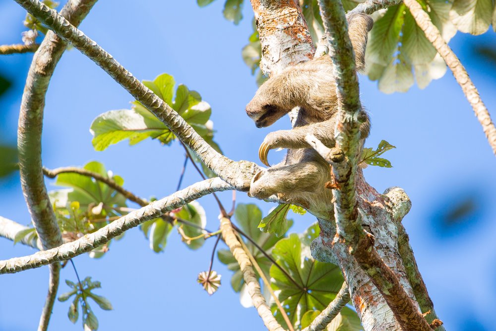 Brown-throated sloth   ( Bradypus variegatus )