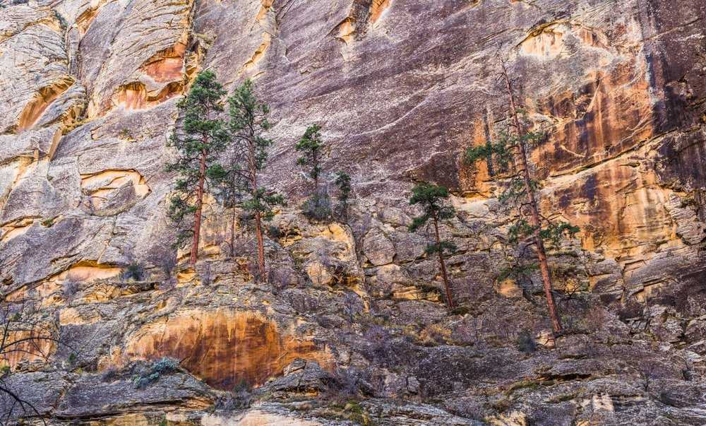 - Ponderosa pines magically shooting from one of the walls of the Escalante River gorge.