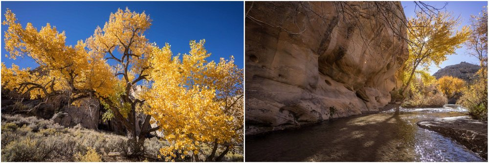 - Right: A Fremont cottonwood in bright fall colors. For many Native people these trees found in riparian zones of the Southwest held a sacred importance and their bark was used for treating Vitamin C deficiency and other ailments. Right: The Escalante River carves many of the slot canyons in the national monument and is the site of one of the largest watershed restoration projects in the country. Grand Staircase Escalante Partners, together with some thirty other agencies and organizations, are working annually to remove invasive vegetation and restore native habitat.