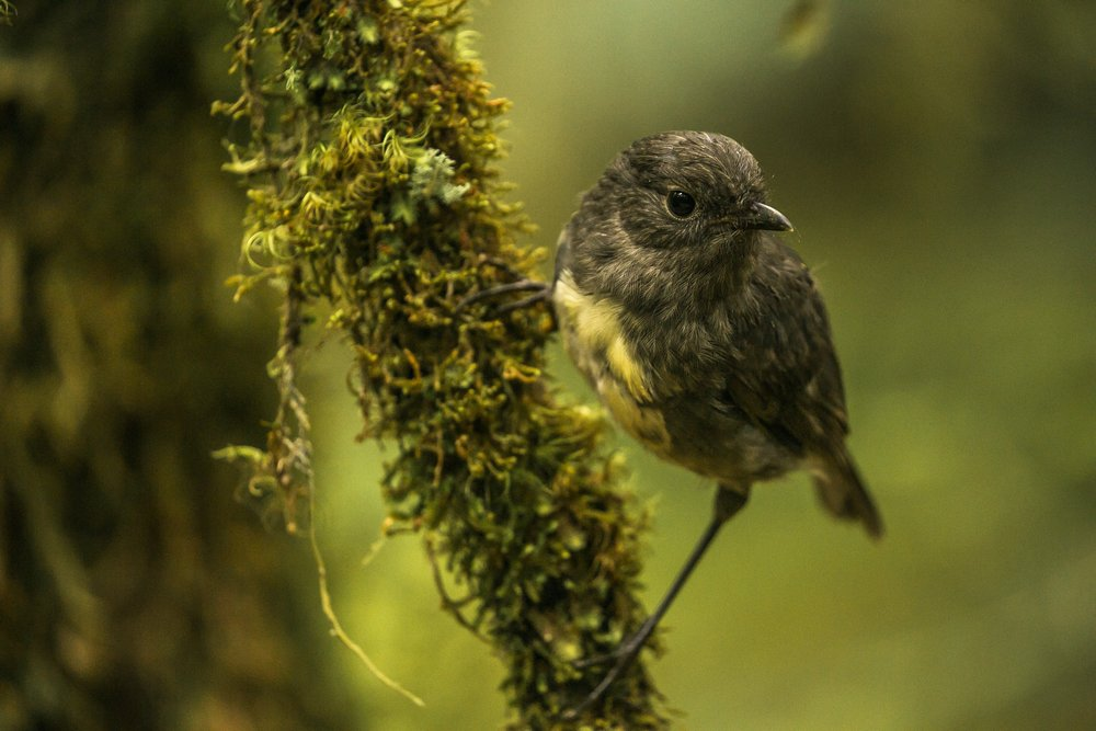 - When the trail gets hard, the sudden sight of an inquisitive South Island robin is guaranteed to make your day better and leave you with a big smile.