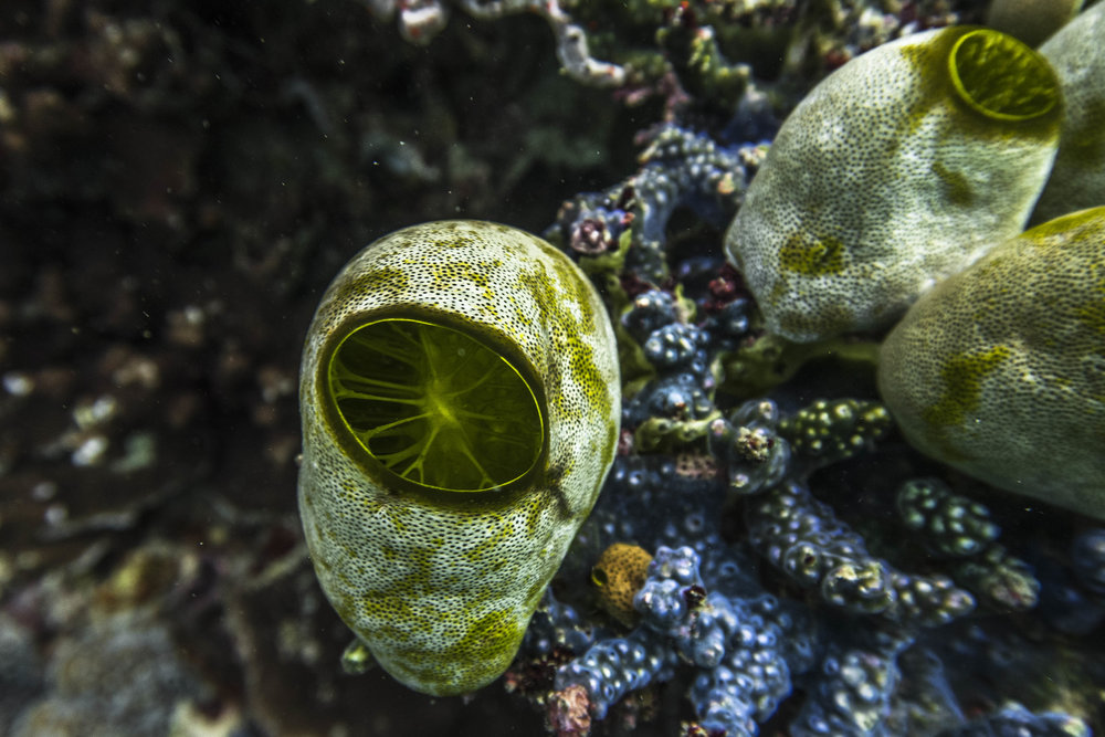 green barrel sea squirt (Didemnum molle) - As with all tunicates, green barrel sea squirts are filter feeders, inhaling and exhaling the filtered water through two siphons.