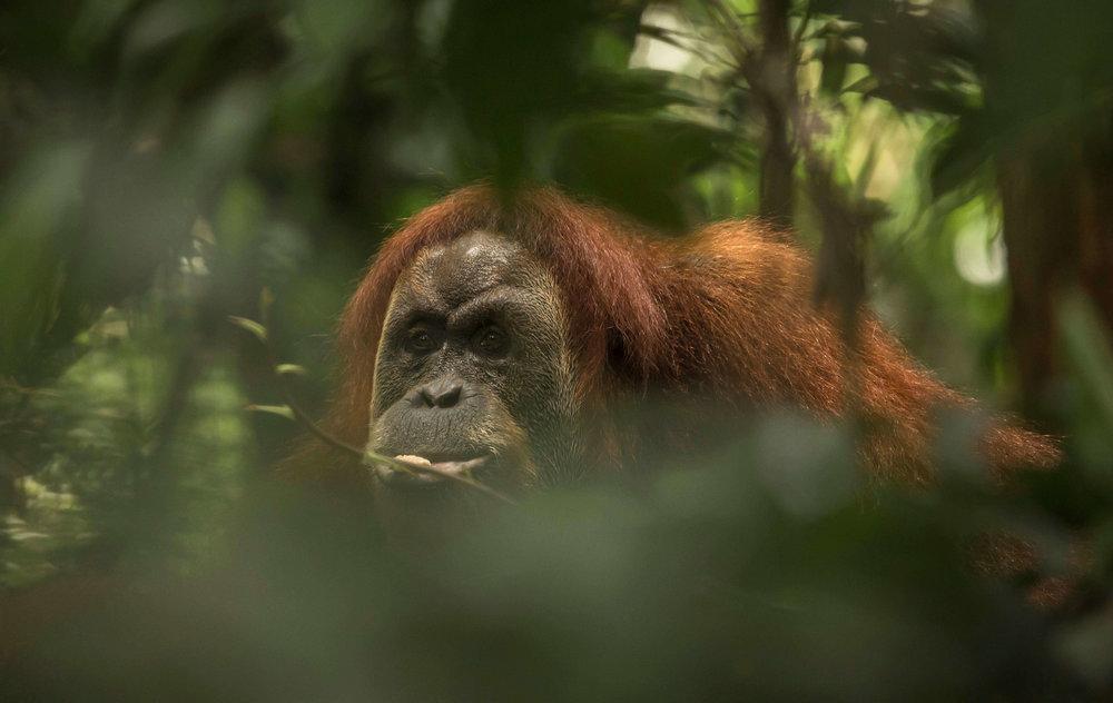 Sumatran orangutan, one of the two orangutan species endemic to Sumatra