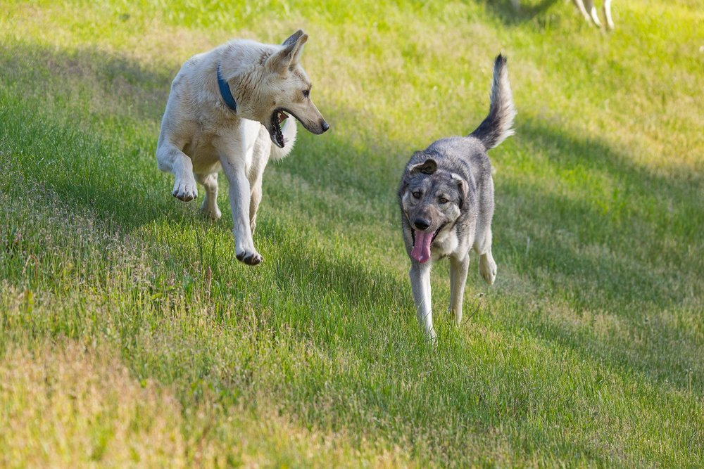 Sled dogs enjoying the summer time. (Ari Sigglin)