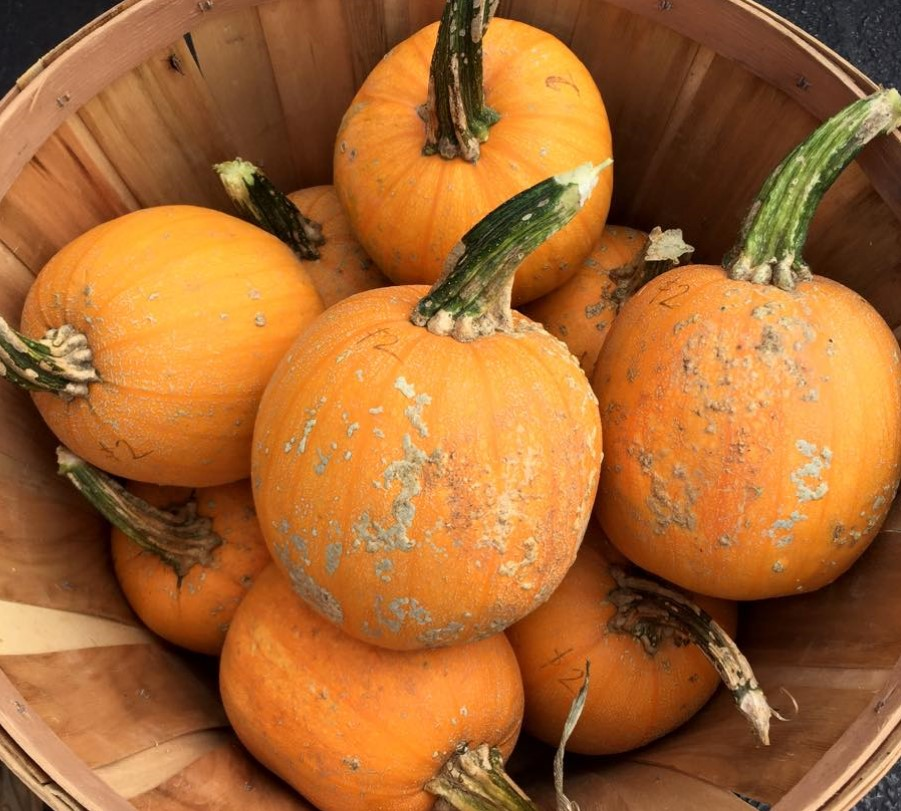 Beautiful pie pumpkins.