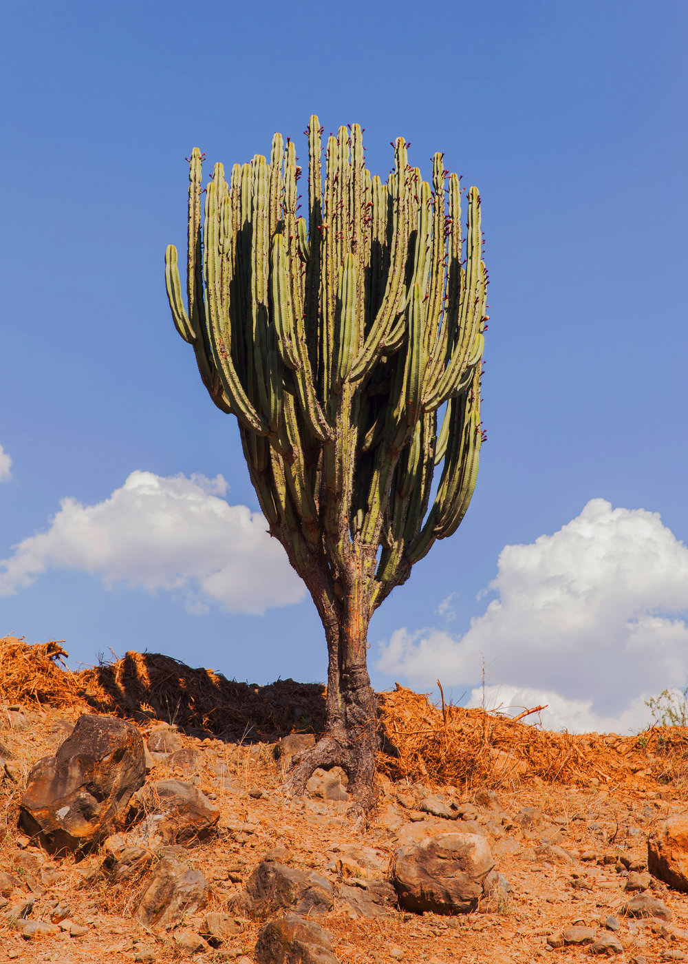 CactusTall400X.jpg