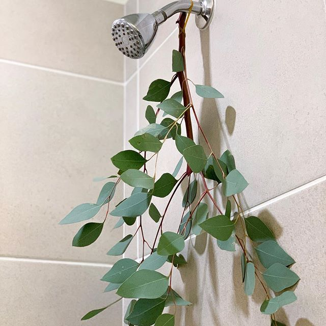 Finally added some eucalyptus to my shower. The steam triggers the release of the plant's essential oils, which can help de-stress & relieve upper-respiratory issues.  Only $2.99 for 1 bunch at @traderjoes (the other half of this bunch is hanging in J's shower). Now off to do some skin detoxing. How do you prep for the week?