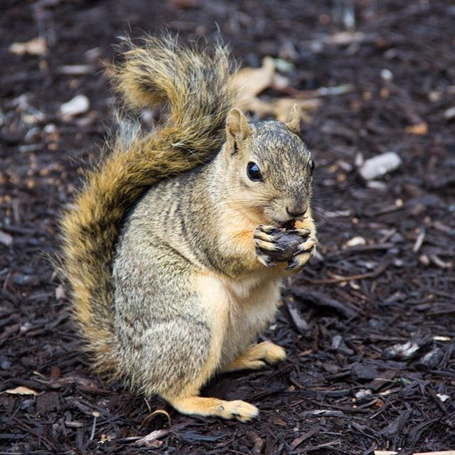 The Squirrel  Texas XXL Size Genuine American Squirrels.  #texas #squirrel #nuts #theworldyousee #beyond