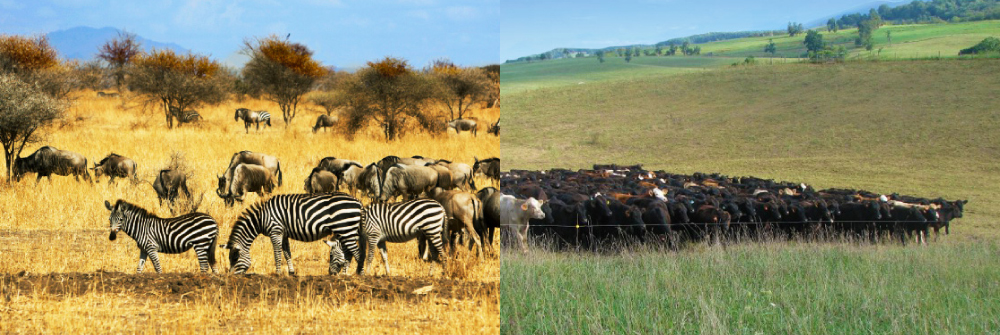 We mimic cattle grazing patterns after wild herds.