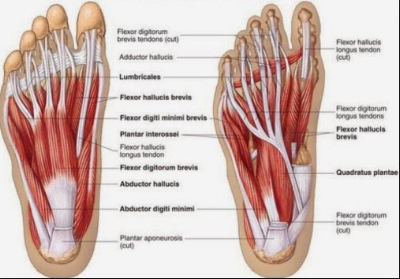 there are a group of 9 small muscles in the foot that help to create and  maintain the shape of the arch