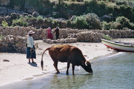 a cow drinks from THE lake