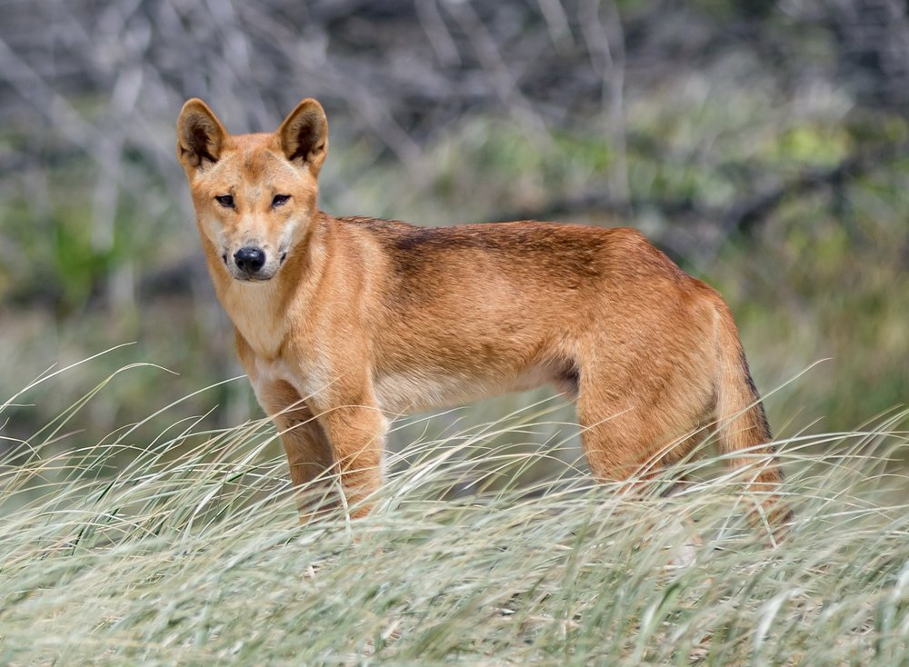 Dingo_of_Fraser_Island-20170215-092336.jpg