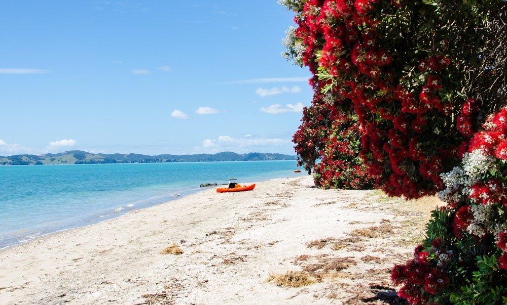 The Pohutukawa - New Zealand's Christmas tree.