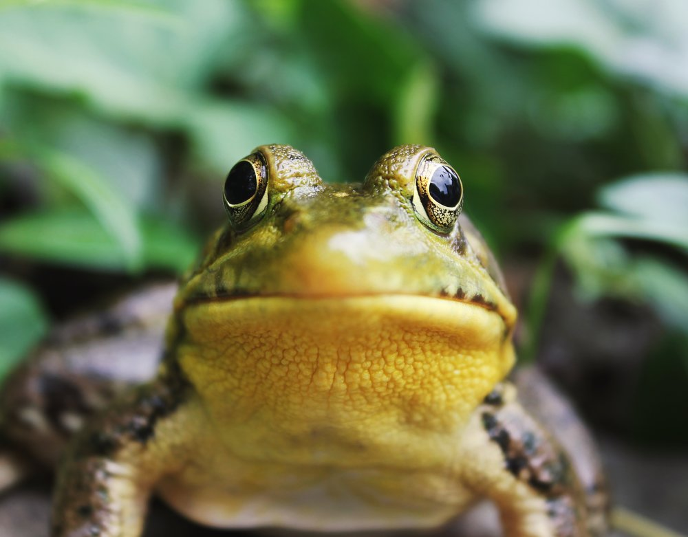 """Yeah sure, I'd love to help promote your campaign!"" he says, knowing full well that he's a frog with no grasp of how social media even works.  Photo by  Jack Hamilton  on  Unsplash"