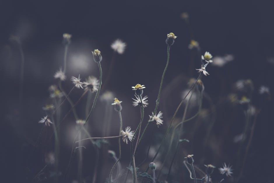 daisies.jpeg