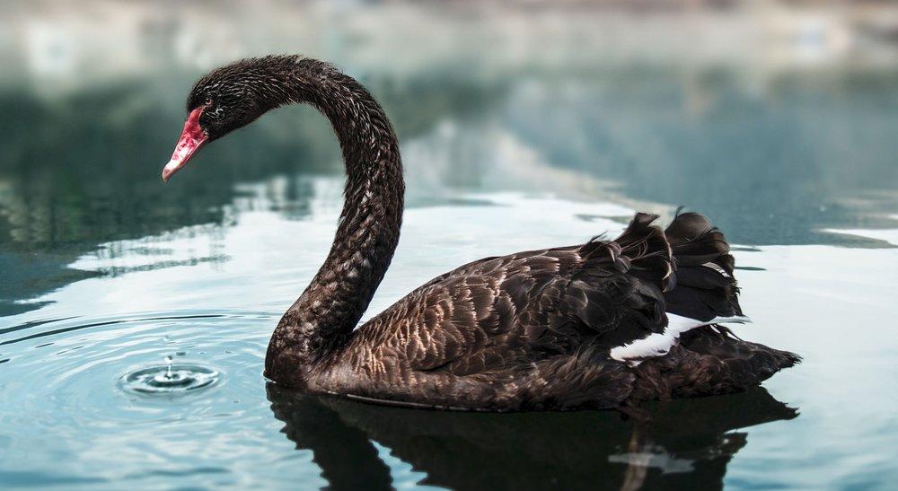 A black swan in Bulgaria. Photo courtesy Kiril Kastev. License: CC BY-SA 3.0