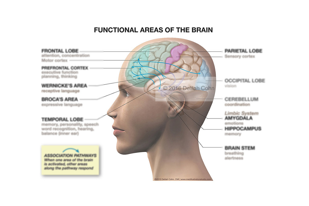 Functional Anatomy of the Brain