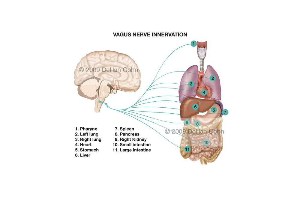 Vagus Nerve Distribution