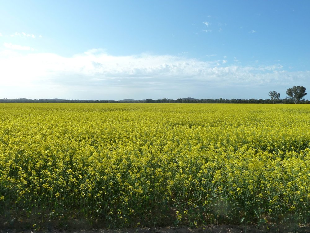 Drive through Northern Victoria wine country and see fields of canola flower