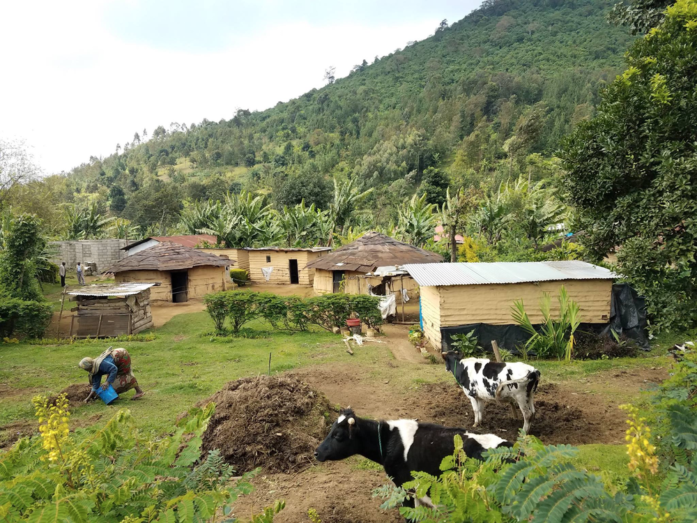 A woman tends to her pasture while her dairy cows graze. In the background, you can see her homestead, which includes her husband's home and the homes that belong to both of his wives