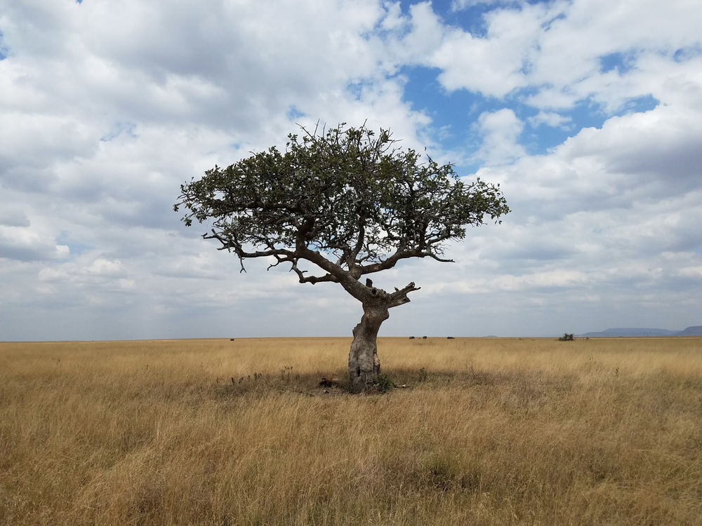 Two male lions rest underneath a lone tree on the Serengeti