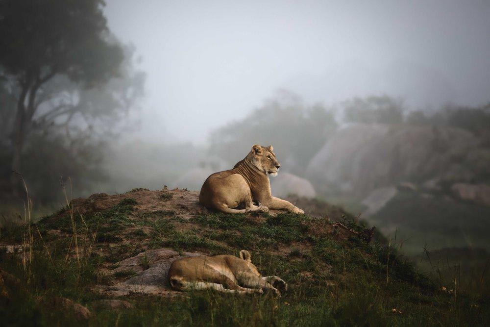 lioness.fog.jpg