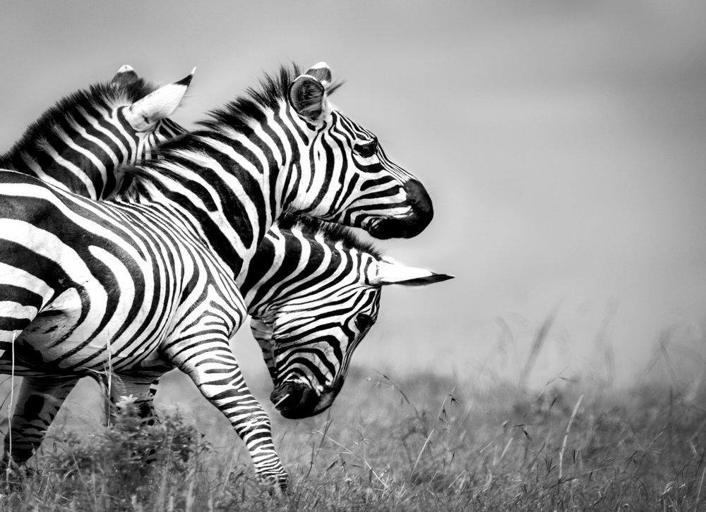 zebra.bw.nov.2017-for-web.jpg