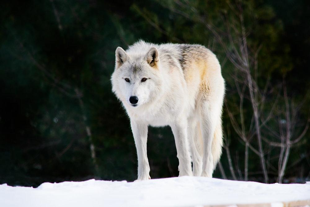 Wolf.web.jpg