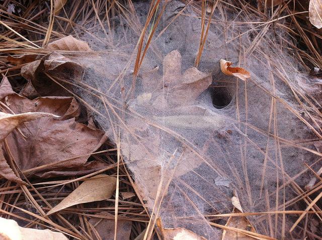 Spider Web, Alabama